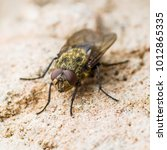 Small photo of Diptera Meat Fly Insect On Rock