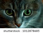 Stock photo portrait of sibirian cat with green eyes and fluffy grey fur close up cat s face with hypnotic 1012878685