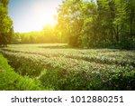 green tea garden  hill... | Shutterstock . vector #1012880251