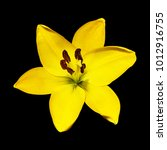 yellow lily flower isolated on... | Shutterstock . vector #1012916755