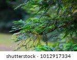 canadian hemlock branches and... | Shutterstock . vector #1012917334