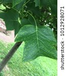 Small photo of Tulip tree Liriodendron tulipifera lobed leaf shape close up and grey bark