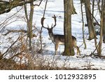 fallow deer stag in natural... | Shutterstock . vector #1012932895