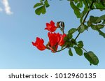 Small photo of Branch of red Spathodea flower, is commonly known as the African tuliptree in tropical garden of Tenerife, Canary islands , Spain. Beautiful vibrant floral background for wallpaper or web design