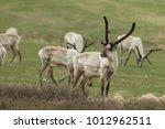reindeer  caribou  iceland  | Shutterstock . vector #1012962511