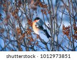 bullfinches on the branch | Shutterstock . vector #1012973851