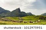 an herd of cows in the alpine... | Shutterstock . vector #1012975951
