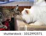 Mutual Sniffing Of Maine Coon...