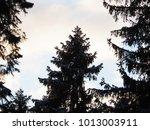 contours of spruce in the forest | Shutterstock . vector #1013003911