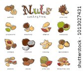 nuts vector nutshell of... | Shutterstock .eps vector #1013027431