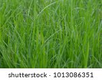 grass peaceful plant sedge...   Shutterstock . vector #1013086351