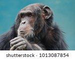 Chimpanzee  Face  Close Up