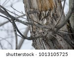 Small photo of Grey-morph Eastern Screech Owl attempting to sleep in a tree cavity. Woodland Cemetery, Burlington, Ontario, Canada.