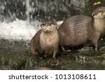 asian small clawed otter  aonyx ... | Shutterstock . vector #1013108611