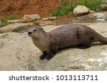 North American River Otter ...