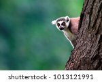Single Lemur Katta   Ring...