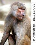 single hamadryas baboon in... | Shutterstock . vector #1013127739