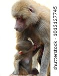 family of hamadryas baboons in... | Shutterstock . vector #1013127745