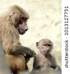 family of hamadryas baboons in... | Shutterstock . vector #1013127751