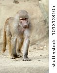 single hamadryas baboon in... | Shutterstock . vector #1013128105