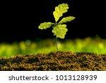 Small Oak Plant In The Garden....