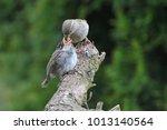 Female House Sparrow ...
