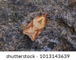 Small photo of Acleris aspersana moth in the family Tortricidae. Sitting on a twig with a rock.