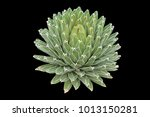 agave plant isolated on black...   Shutterstock . vector #1013150281