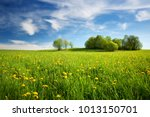 field with yellow dandelions... | Shutterstock . vector #1013150701