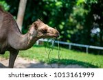 female dromedary or arabian... | Shutterstock . vector #1013161999