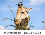 close up view of a giraffe's...   Shutterstock . vector #1013171185