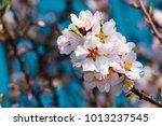 Almond Blossom Branch  Blue Sk...