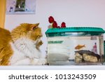 red and white cat looks with... | Shutterstock . vector #1013243509
