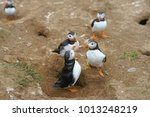 Group of Atlantic Puffins, Fratercula arctica, interacting with each other in their nesting area, selective focus, Skomer Island, Pembrokeshire, West Wales, United Kingdom