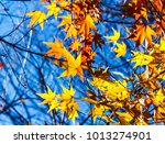beautiful red maple leaves in... | Shutterstock . vector #1013274901