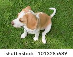 brown ears beagle puppy dog... | Shutterstock . vector #1013285689