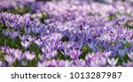 spring flowerbed on meadow  ... | Shutterstock . vector #1013287987