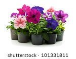 home flowers isolated on a...   Shutterstock . vector #101331811