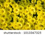 yellow chrysanthemums on top... | Shutterstock . vector #1013367325