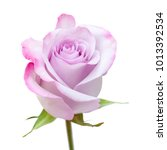 Small photo of single rose flower with unusual color - pale blue - lilac petals