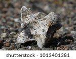 old caribou vertebrate bone... | Shutterstock . vector #1013401381