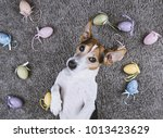 adorable jack russell dog lying ... | Shutterstock . vector #1013423629