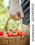 tomato harvest. farmers hands...   Shutterstock . vector #1013433025