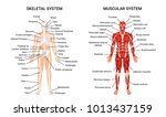 muscular and skeletal systems... | Shutterstock .eps vector #1013437159