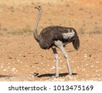 One Ostrich Walking From Right...