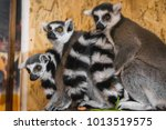 three lemurs look at the frame | Shutterstock . vector #1013519575