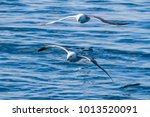 Small photo of Two albatross in Iceland flying low over the ocean. The one in front splashes the water as his wing tip cuts through the crest of a wave.