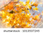 beautiful yellow maple leaf in... | Shutterstock . vector #1013537245