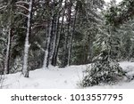 photo of a beautiful coniferous ... | Shutterstock . vector #1013557795