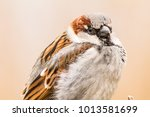 male house sparrow or passer... | Shutterstock . vector #1013581699